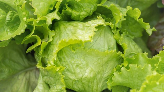 Could a protein grown in lettuce help heal broken bones faster {Taj Pharma Regulatory Affairs}